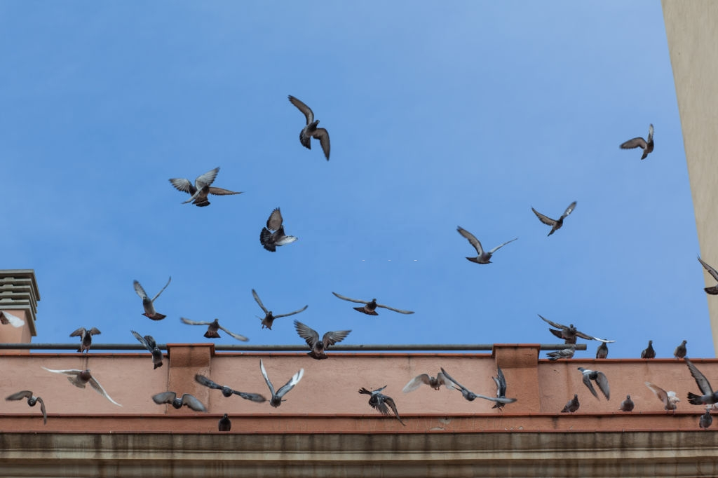 Pigeon Control, Pest Control in Walton-on-Thames, Hersham, KT12. Call Now 020 8166 9746