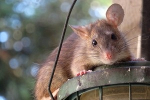 Rat Control, Pest Control in Walton-on-Thames, Hersham, KT12. Call Now 020 8166 9746