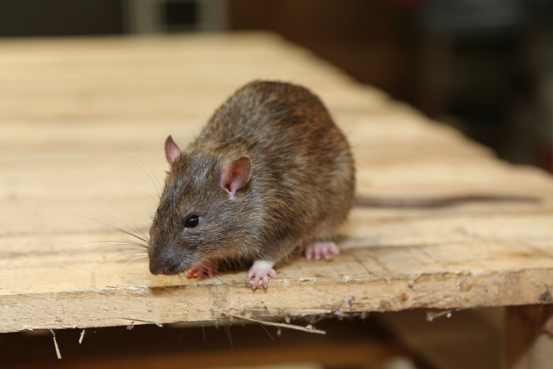 Rat Infestation, Pest Control in Walton-on-Thames, Hersham, KT12. Call Now 020 8166 9746