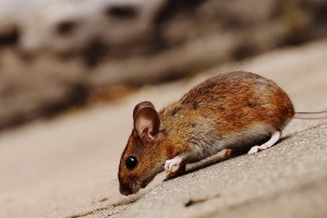 Mice Control, Pest Control in Walton-on-Thames, Hersham, KT12. Call Now 020 8166 9746